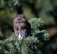 Northern Pygmy Owl (RJ Thomas Photography) Tags: northernpygmyowl d500 nikon200500mm
