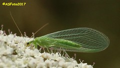Lacewing (andywsx) Tags: canoneos7d 70300is portlandbill dorset lacewing insect