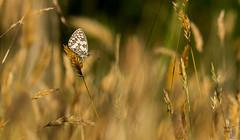 demi deuil (Yohan Cobac) Tags: papillon demi deuil cobacyohan insecte france finistère french bretagne brittany breizh
