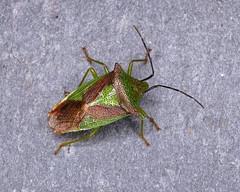 Hawthorn Shieldbug - Acanthosoma haemorrhoidale (erdragonfly) Tags: acanthosomahaemorrhoidale