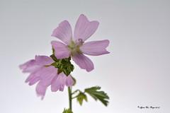 Flower (Agnes Van Parijs) Tags: macromondays highkey bloem malva kaasjeskruid macrp