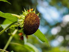 Bald reif für die Samenspende ;-) (mohnblume2013) Tags: sonnenblume blüte verblüht samen sommer garten makro bokeh fokus
