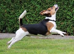 Lucky (LuckyMeyer) Tags: hund dog beagle jagdhund friend haustier tier vier beine fly sprung springen play