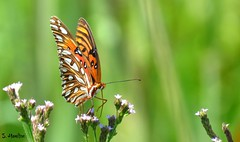 Gulf Fritillary or Passion Butterfly (Suzanham) Tags: gulffritillary butterfly wildflowers passionbutterfly migratory nymphalidae heliconiinae orange bokeh colorful nature wildllife southern mississippi canonpowershotsx60hs