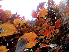 Fiery Hazelnut Leaves (AleksandraMicic) Tags: photography photographs photos photo images image slike slika nature priroda aleksandramicic micicart micicartstudio flickr leaves fiery red hazelnut bush tree lesnik zbun list