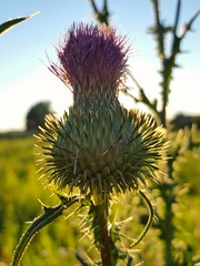 Cirsium vulgare (Iggy Y) Tags: cirsiumvulgare cirsium vulgare summer blossom flower purple color flowers nature field plant osjak spearthistle thistle sunny day light leaves green blue sky