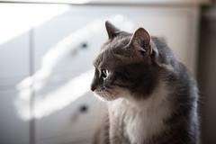 theo (jojoannabanana) Tags: 3652017 bokeh cat eyes light morning tabby