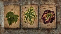 vignes Feuilles (Gremine) Tags: vigne vin nature morte saison still life