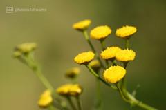 tiny yellow flowers / soldatenknöpfle (photos4dreams) Tags: forest21082017p4d gersprenz münster hessen germany naturschutz nabu naturschutzgebiet photos4dreams p4d photos4dreamz nature river bach flus naherholung canoneos5dmark3