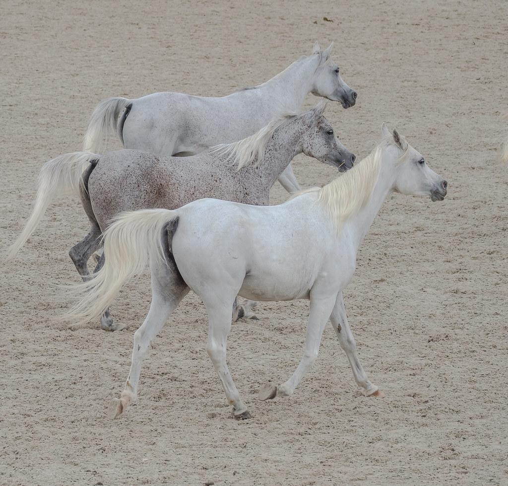 araber pferde bilder  vorlagen zum ausmalen gratis ausdrucken