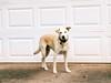 Betrayed dog (yooperann) Tags: dog garage door daisy lab mix guilt deserted bereft expressions