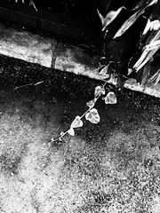 (takashi ogino) Tags: bw blackandwhite digital ipod ipodtouch leaves nature