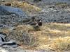 Dark-eyed Junco, Tuolumne Meadows, 230817 (simondbradfield) Tags: darkeyedjunco juncohyemalis tuolumnemeadows sx50