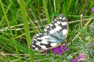Marbled White Butterfly, New Forest NP, Hampshire