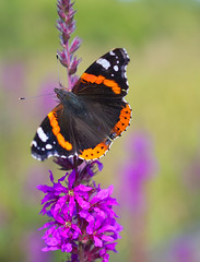Red Admiral Butterfly ~ Explored (Margaret S.S) Tags: purpleloosestrife plant red admiral vanessa atalanta