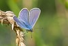 IMG_1851 (michel_gras) Tags: argusbleu papillon