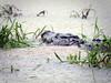 Rio Sarapiqui_43 (Thomas Jundt + CV) Tags: alligator costarica heredia riosanjuan trinidad