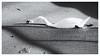© Inge Hoogendoorn (ingehoogendoorn) Tags: reflection reflectie spiegeling blackandwhite blacknwhite monochrome monochroom monochromatic swan zwaan swans zwanen gracht kroos