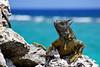 Grand Cayman Green Iguana (Wes Rabb) Tags: caymans iguana invasive caribbean island lizard ocean