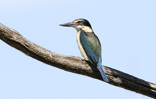 lagoon creek - a sacred kingfisher