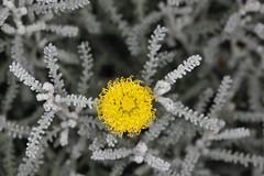 Santolina chamaecyparissus, la santoline petit-cyprès. (chug14) Tags: plantae plante flower fleur asteraceae composées santolina santolinaincana santolinecyprès santolinepetitcyprès unlimitedphotos