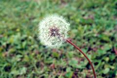 wishes (Makayla Maxheimer) Tags: macro wishing flower upclose plant
