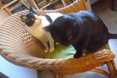 Namastê e Sam-Pá - DSC01790 (Dona Minúcia) Tags: art cute animal cat friends chair together arte gato juntos amigo cadeira gracinha fofo