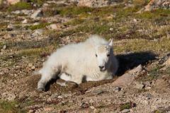 Mountain Goat kid resting