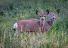 Two cute (Pejasar) Tags: deer two double friends twins animal young alfalfa field dinnertime pray montana blue blossoms mammals