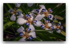 FELIZ  PRIMAVERA, HEMISFERIO  SUR !! (manxelalvarez) Tags: primavera felizprimavera flores flora iris neomáricacándida
