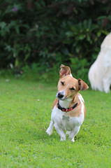 Are you looking at me, punk? (KelJB) Tags: bestfriend gorgeous small sweet face looking standing portrait beautiful jackrussell terrier companion friend mammal canine animal pet doggy dog