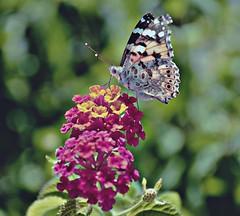Butterfly (Aránzazu Vel) Tags: butterfly mariposa farfalla flower flores fiori natura nature naturaleza colors