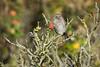 _D504704 (De Hollena) Tags: accenteurmouchet acentorcomún dunnock hargen heckenbraunelle hedgesparrow heggenmus prunellamodularis