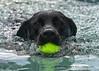 Alfie (© Freddie) Tags: kent detling kentcountyshowground pawsinthepark dashnsplash dog labrador blacklabrador labradorretriever fieldlabrador fjroll ©freddie tccdpi