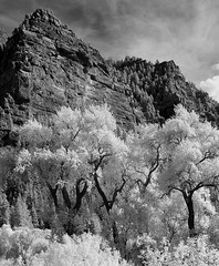 Cottonwoods (arbyreed) Tags: arbyreed infrared monochromeinfrared 665nanometerinfrared provocanyon utahcountyutah trees cottonwoodtrees