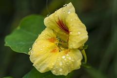 MS Bot Garten 31082017 064 2048 (Dirk Buse) Tags: münster nordrheinwestfalen deutschland deu nrw germany botanischer garten natur blüte farbe outdoor regentropfen nature olympus omd zuiko mft m43