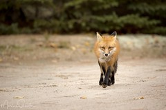 Fox Trot (martinaschneider) Tags: fall fallleaves algonquinpark ontario fox redfox