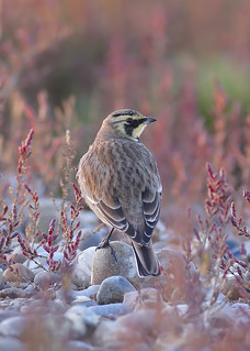 Horned lark in Glasswort