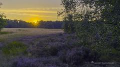 Heather sunset  at Wouwse Plantage, The Netherlands (Ruud.) Tags: ruudschreuder fe 2870mm f3556 oss sony7m2 sony sony7 alfa alpha alpha7 sonyalfa sonyalpha ilce7m2 sonyalphadslr noordbrabant brabant roosendaal brabantslandschap northbrabant netherlands landschap landscape paysage nederland holland niederlanden paybas holanda hollandslandschap dutchlandscape heide heath paars bloei blooming heather zomeravond summerevening sommerabend soiréedété zon sun sonne soleil avond evening abend soirée zonsondergang sunset coucherdusoleil sonnenuntergang wouse plantage wouwseplantage paisajes landschaft