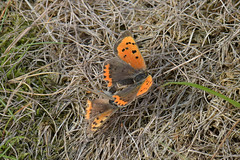 Lycaena phlaeas - Small Copper (d.hunt67) Tags: herts lycaenaphlaeas smallcopper lycaenidae butterfly