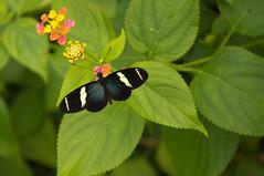 Kleine passiebloemvlinder - Sara longwing (Den Batter) Tags: nikon d7200 blijdorp zoo dierentuin vlinder butterfly kleinepassiebloemvlinder saralongwing heliconiussara