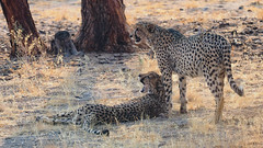 Cheetah | P9203973-1 (:munna) Tags: cheetah solitaire namibia