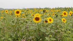 2017_08_0902 (petermit2) Tags: sunflower oxborough norfolk