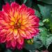 2017 - Montreal - Botanical Garden (Ted's photos - Off & On) Tags: 2017 canada cropped montreal nikon nikond750 nikonfx tedmcgrath tedsphotos vignetting montrealbotanicalgardens montrealquebec quebec jardinbotaniquedemontréal flower bloom petals