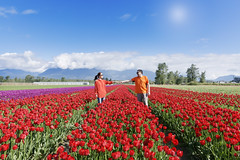 tulips of the valley - chilliwack BC (yuanxizhou) Tags: amazing beautiful colors wonderful awesome valley light flowerfield flower field sky cloud westcoast vancouver britishcolumbia festival tulips