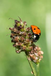 Seven-spotted Ladybug   Siebenpunkt Marienkäfer (Coccinella septempunctata)