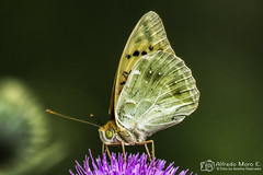 Pandora ( Argynnis pandora) macho libando (Esmerejon) Tags: lepidopteros mariposas insectos polinización pandoraargynnispandoramacho libandorealizadaenelentornodelascuevasdelsoplao cantabriaeldía23dejuliodel2017 naturaleza
