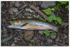 Brook Trout (richpope) Tags: fishing troutfishing trout newjersey stream troutstream fun