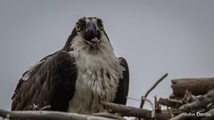 Tongue twister, osprey style. (flintframer) Tags: birds osprey nesting calling closeup pax nas maryland raptors wow dattilo canon eos 7d markii ef600mm 14x wildlife nature