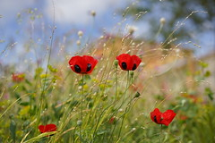 Pretty Poppies at Gardeners World Live :) (Jenny.Lawrence) Tags: nature flowers flower poppies garden gardening wildflowers wild sony sonyalpha sonya7 55mm zeiss carlzeiss e sel55f18z sonnartfe1855